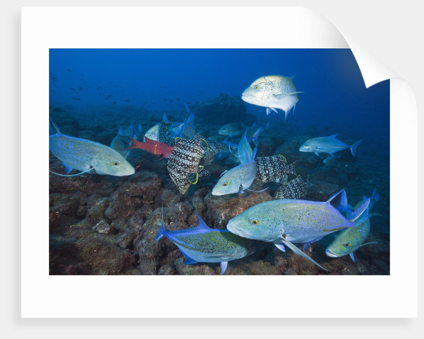 Bluefin Trevally (Caranx melampygus) and Leather Bass (Dermatolepis dermatolepis) by Corbis