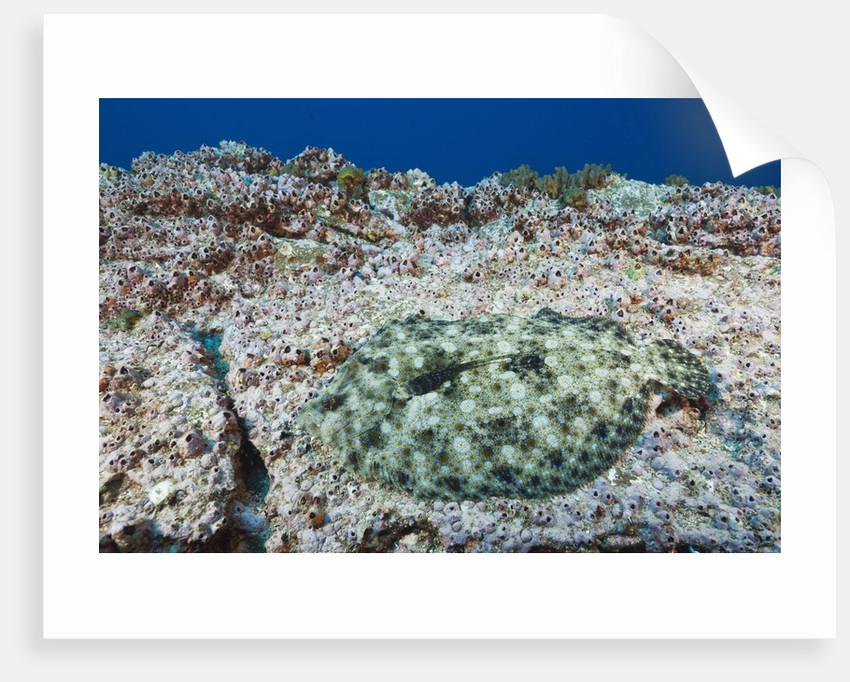 Pacific Leopard Flounder camouflaged (Bothus leopardinus) by Corbis