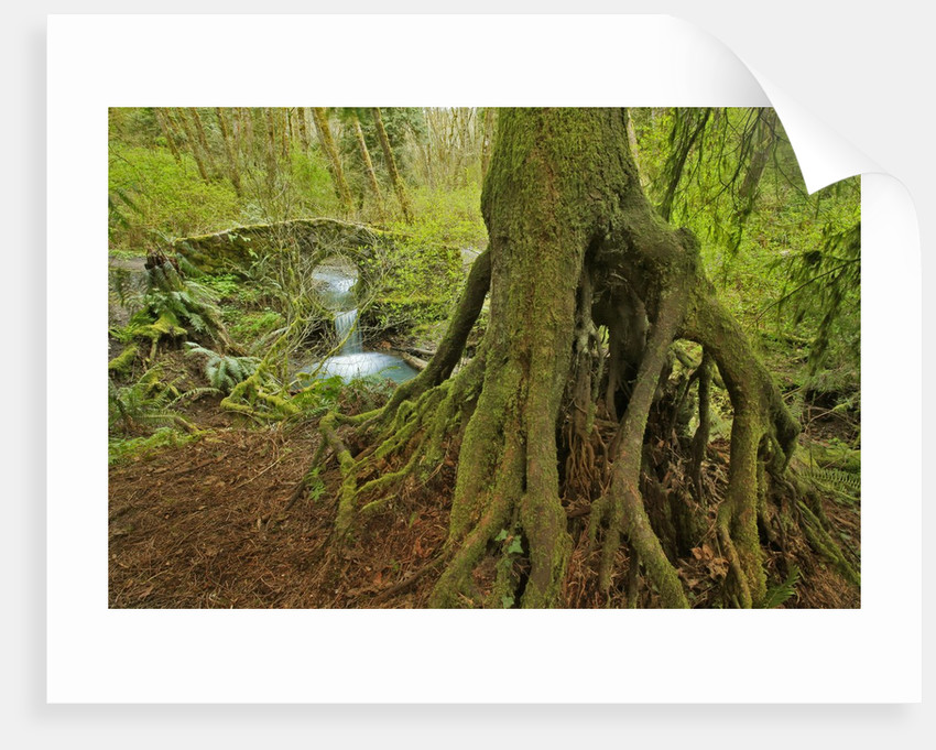 Cedar tree with exposed roots by Corbis