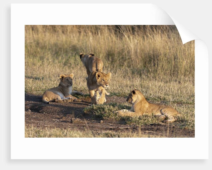 Lion cubs, Masai Mara by Corbis
