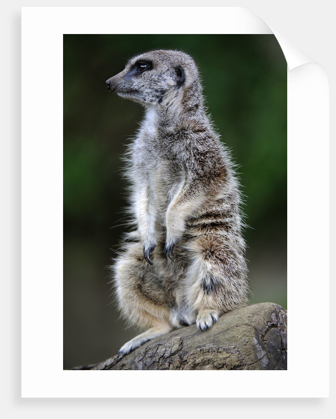 Meerkat by Corbis