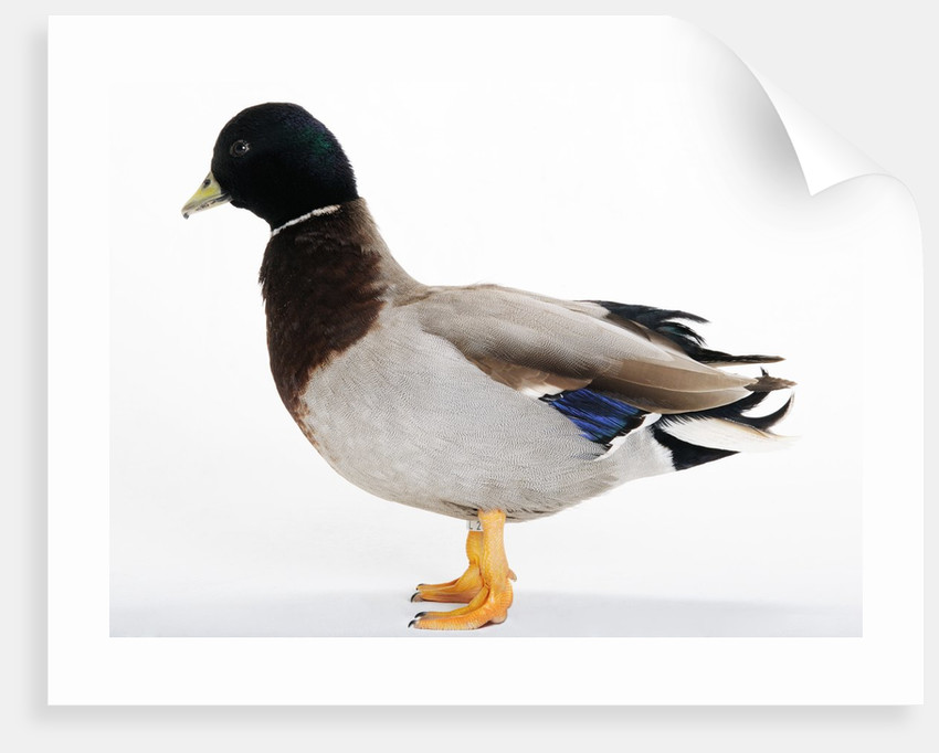 Call Duck by Corbis