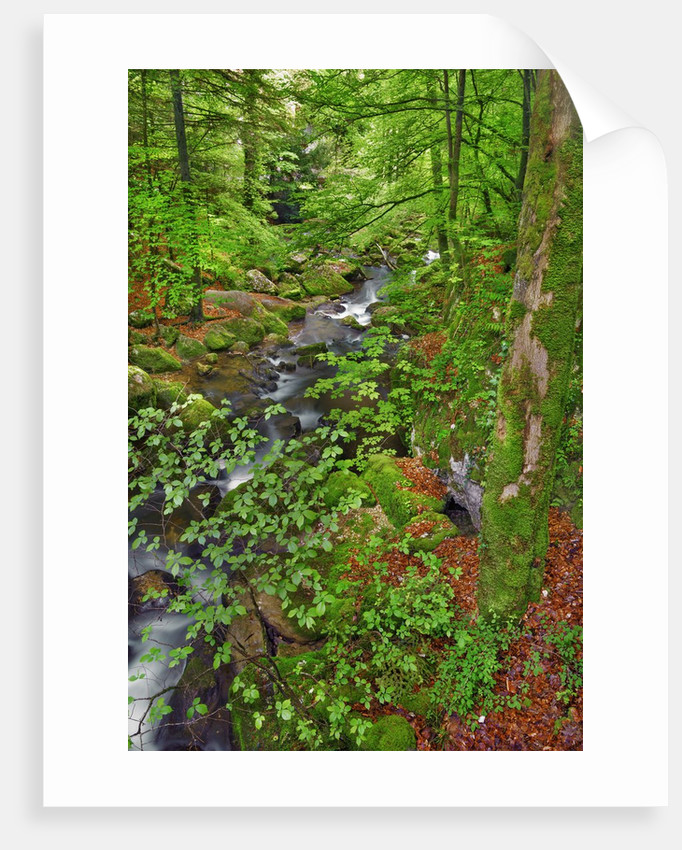 Mountain brook in beech forest by Corbis