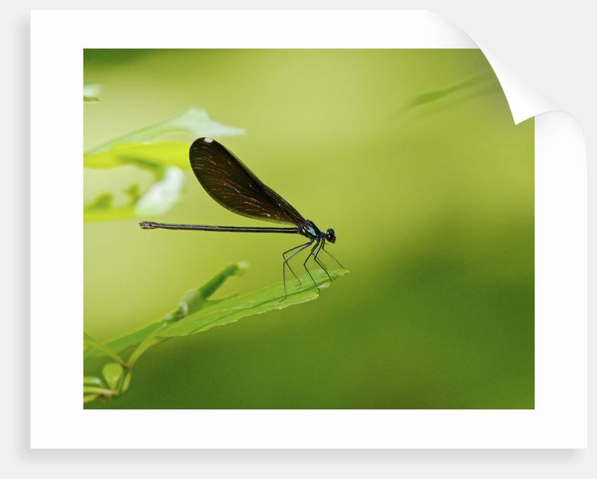 Damsel Fly by Corbis