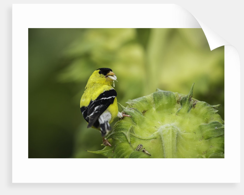 American Goldfinch by Corbis