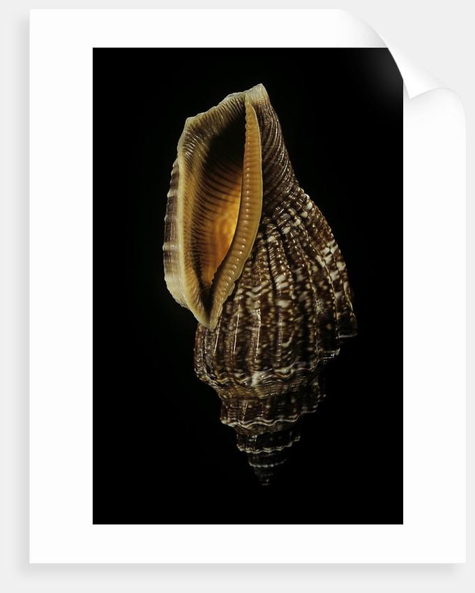 Canarium labiatum (Strombus labiatus). by Corbis