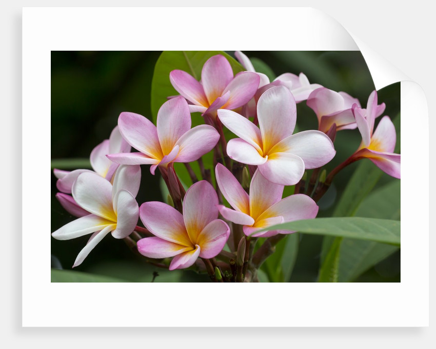 Cluster of Pink Plumeria blossoms. by Corbis