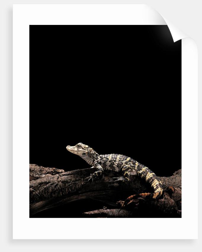 Alligator sinensis (chinese alligator) by Corbis