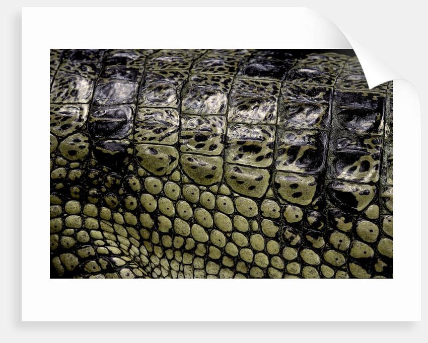 Gavialis gangeticus (gharial) - scales by Corbis