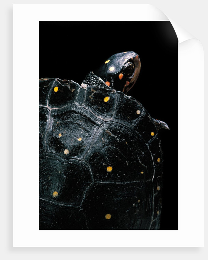Clemmys guttata (spotted turtle) by Corbis