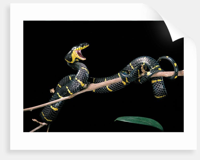 Boiga dendrophila melanota (mangrove snake) by Corbis