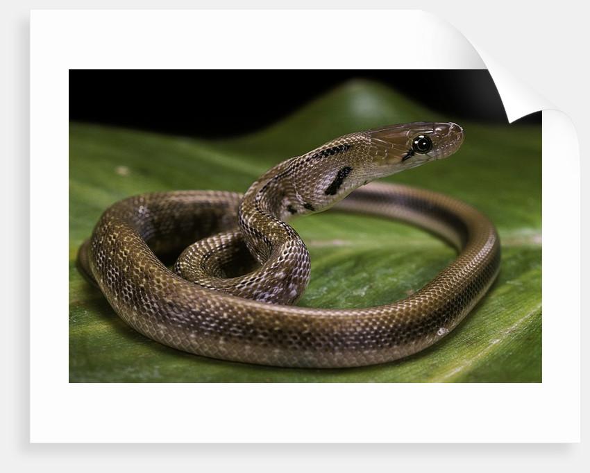 Elaphe helena (trinket snake) by Corbis