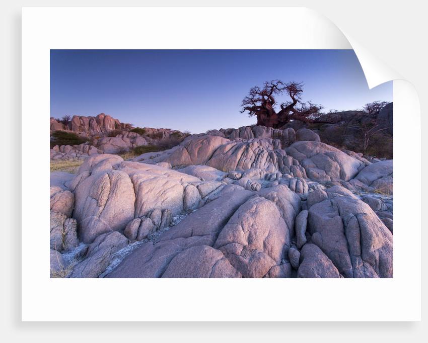 Baobab Tree at Dusk, Kubu Island, Botswana by Corbis