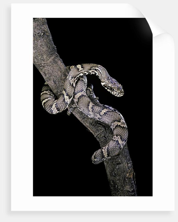 Elaphe schrencki schrencki (Amur rat snake) by Corbis