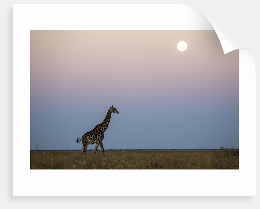 Giraffe and Moonrise, Chobe National Park, Botswana by Corbis