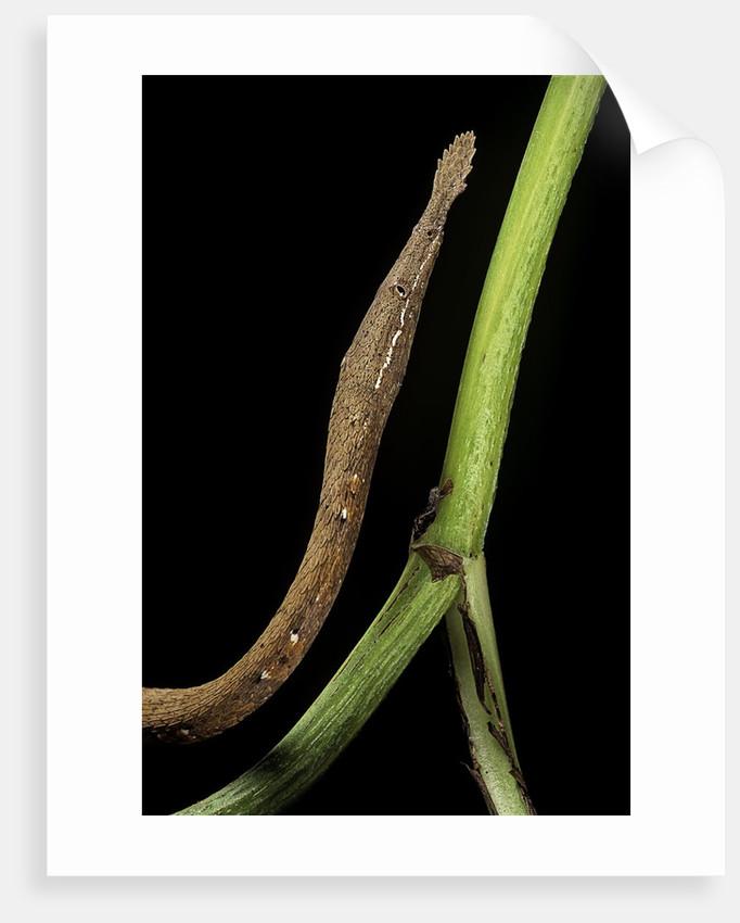 Langaha madagascariensis (leafnose snake) - female by Corbis