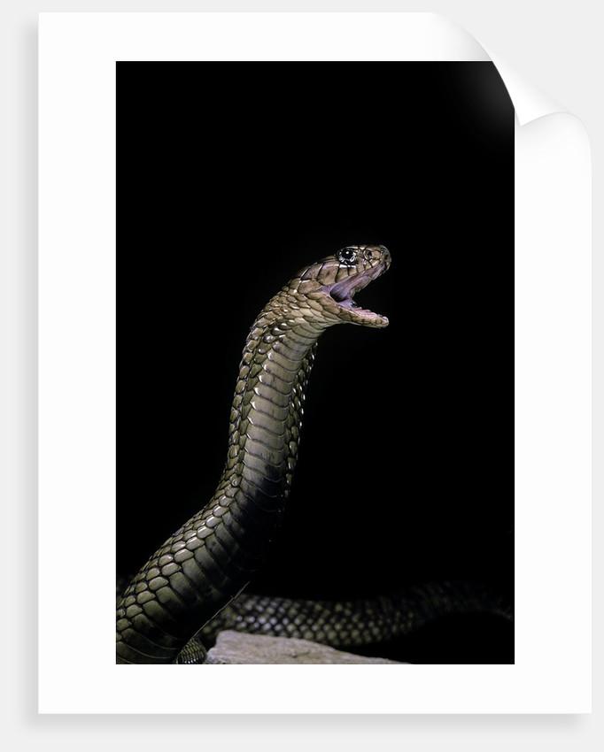 Naja haje (egyptian cobra) by Corbis