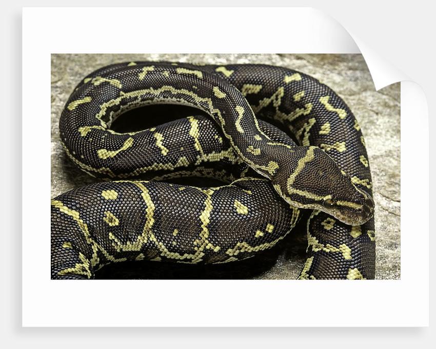Python anchietae (angolan python) by Corbis