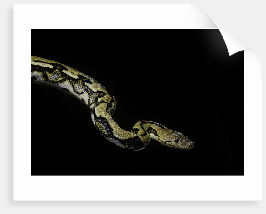 Python reticulatus f.tiger (reticulated python) by Corbis