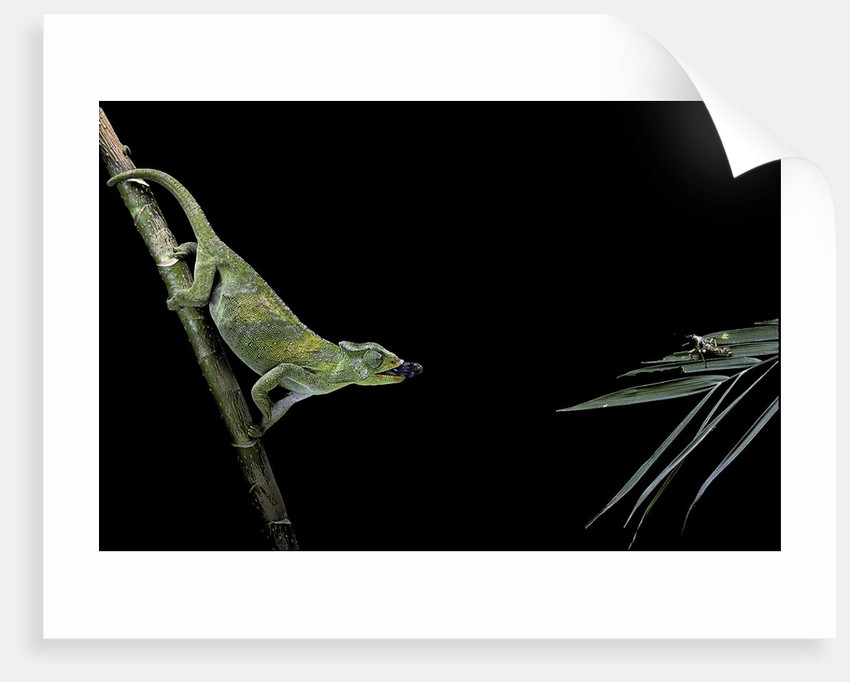 Chamaeleo johnstoni (Johnston's chameleon) - capturing an insect by Corbis
