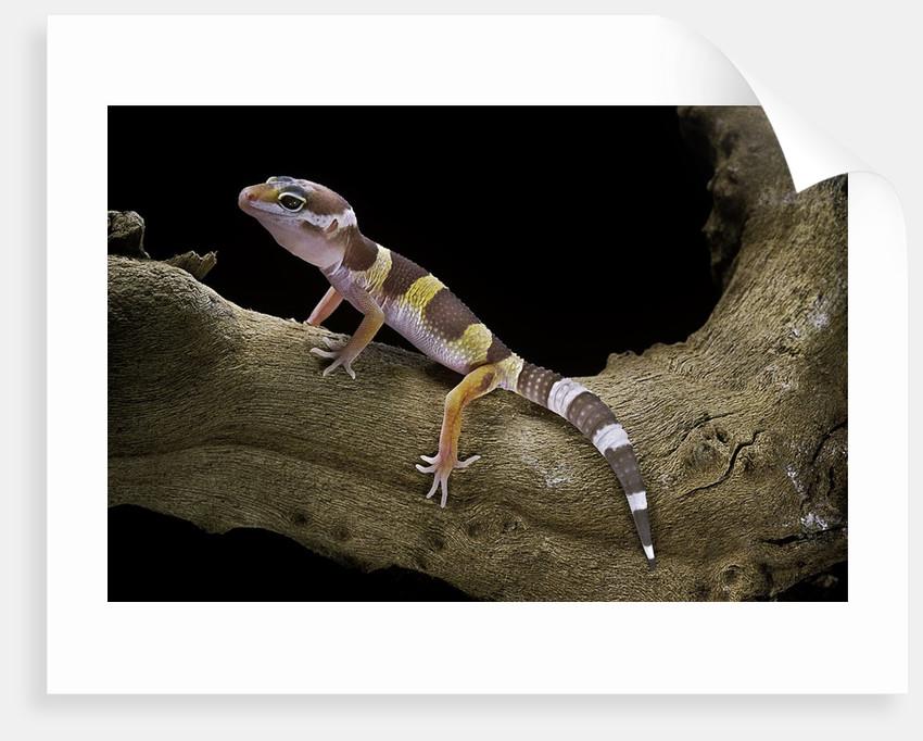 Eublepharis macularius f. albino (leopard gecko) by Corbis