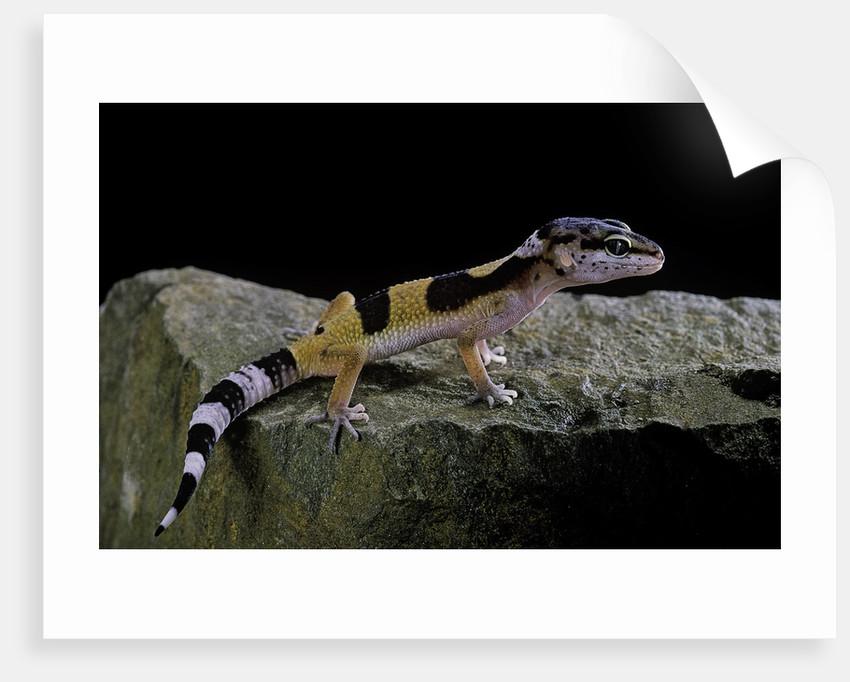 Eublepharis macularius f golden (leopard gecko)