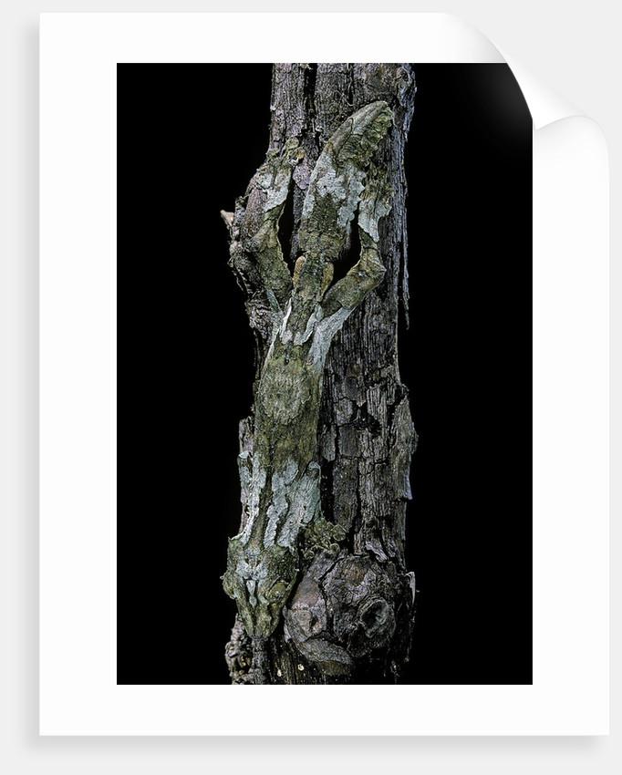 Uroplatus sikorae (mossy leaf-tailed gecko) by Corbis