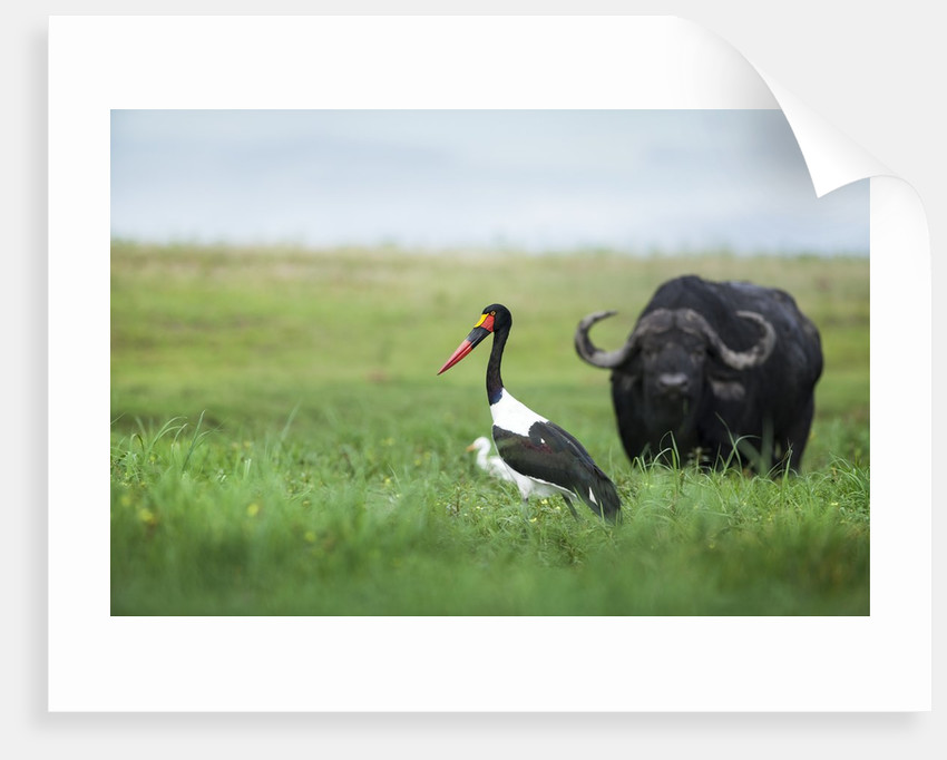 Saddlebilled stork and buffalo, Botswana by Corbis