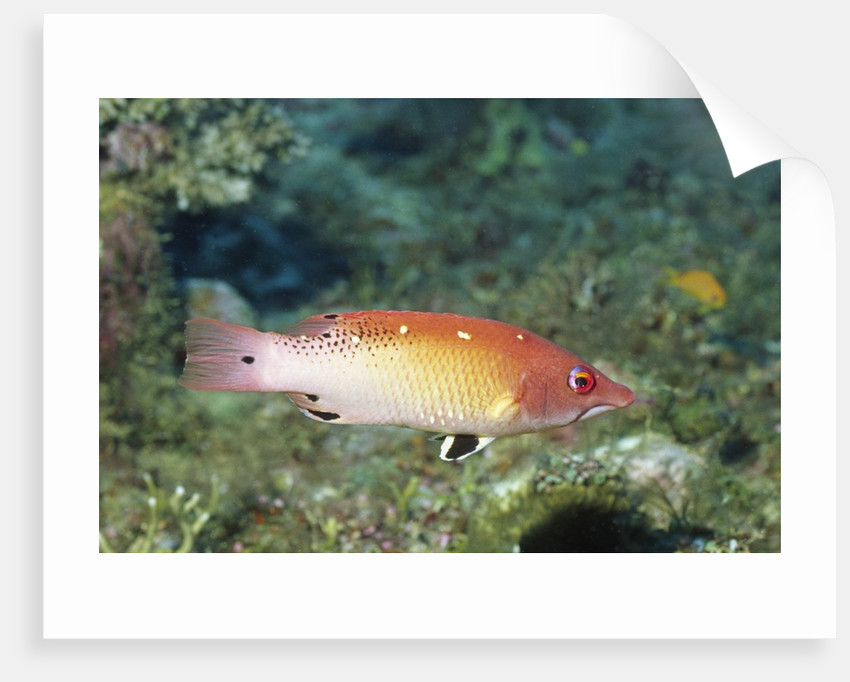 Diana's Hogfish by Corbis