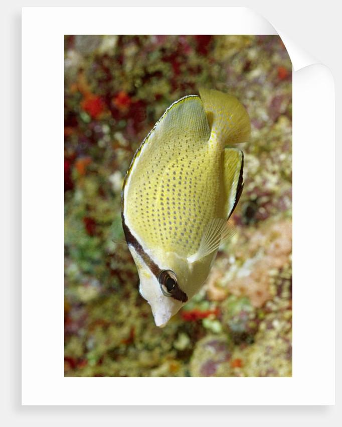 Speckled Butterflyfish by Corbis