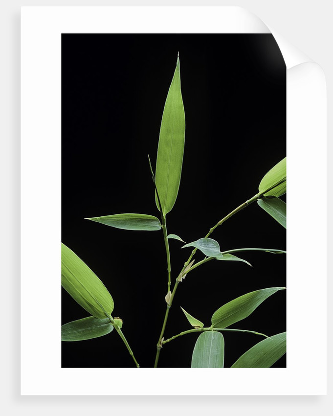 Bamboo leaf by Corbis