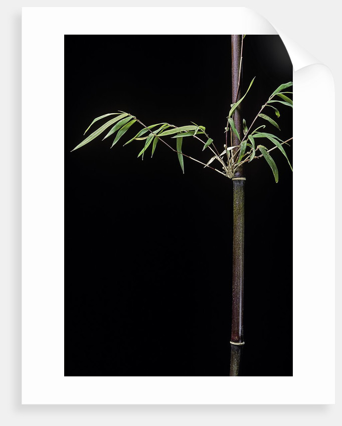 Hymalayocalamus sp. (bamboo) by Corbis