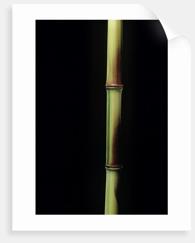 Phyllostachys aureosulcata 'Spectabilis' (showy yellow groove bamboo) by Corbis