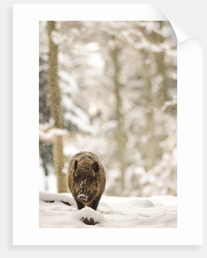 Wild boar (Sus scrofa) portrait in the snow, Bayerischer Wald National Park, Germania, Germany by Corbis