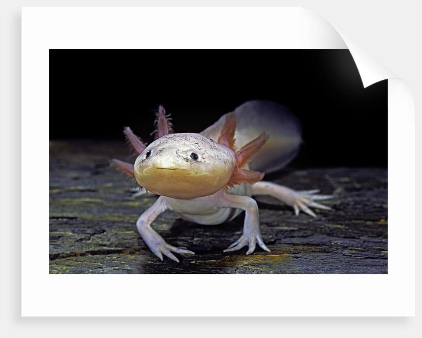 Ambystoma mexicanum f. leucistic (axolotl) by Corbis