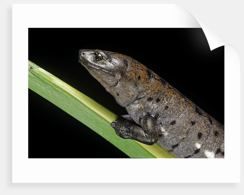 Bolitoglossa dofleini (giant palm salamander, alta Verapaz salamander) by Corbis