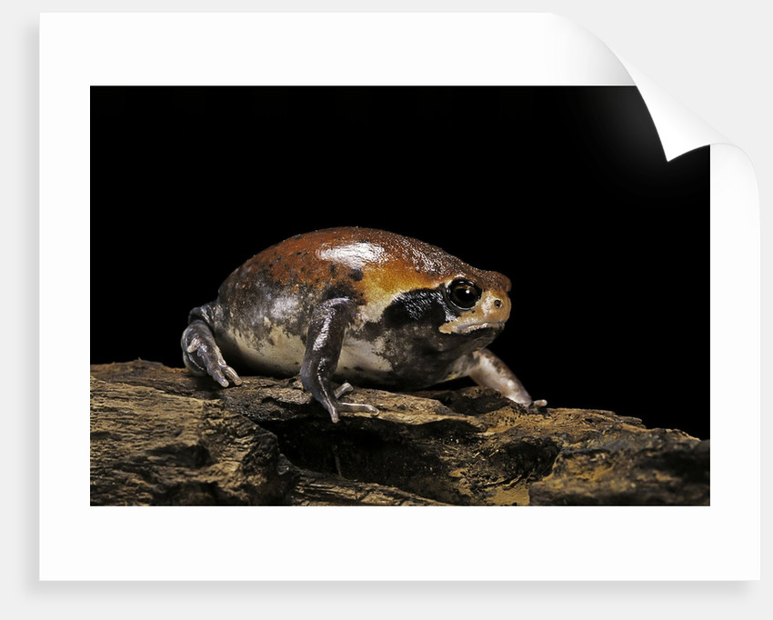 Breviceps mossambicus (flat-face frog, Mozambique rain frog) by Corbis