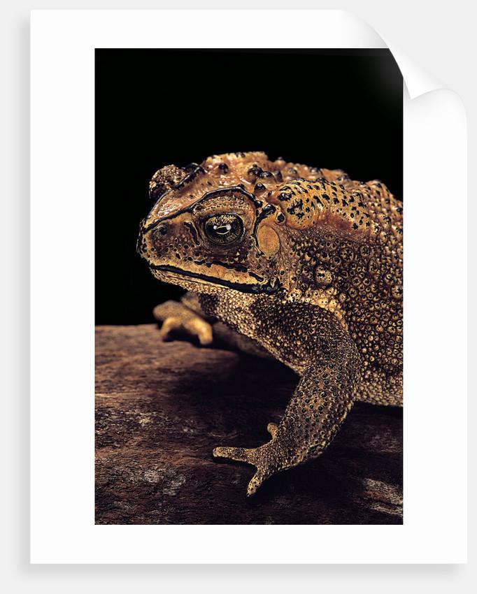Duttaphrynus melanostictus (spectacled toad) by Corbis