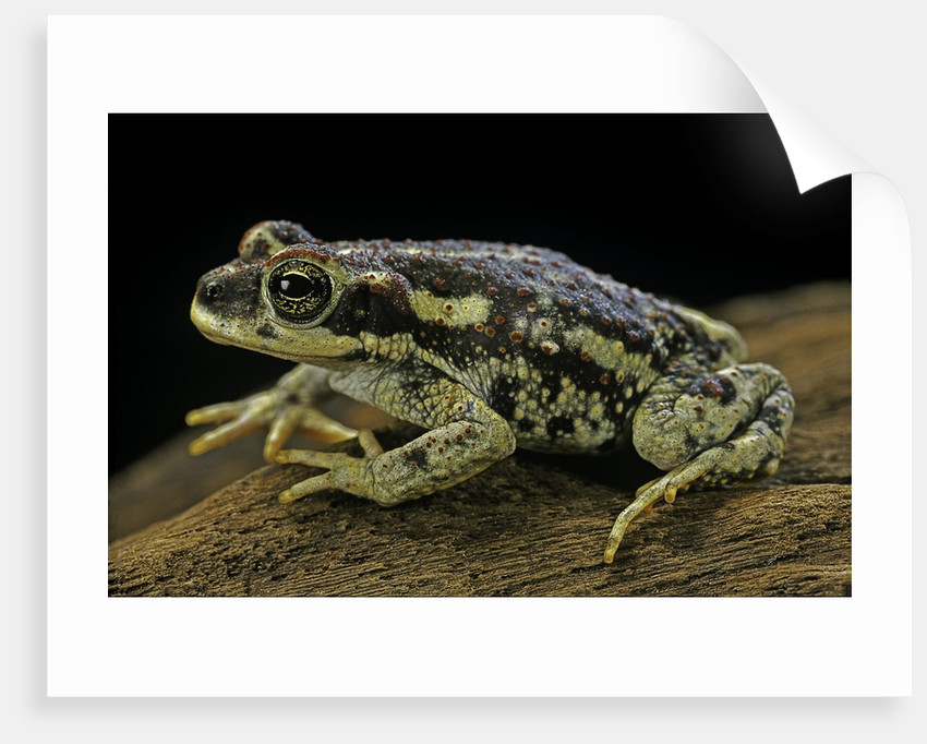 Rhinella spinulosa (warty toad) by Corbis