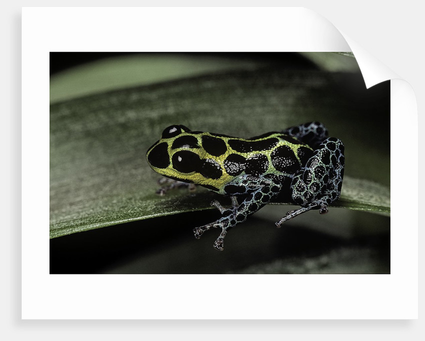 Ranitomeya imitator (mimic poison frog) by Corbis