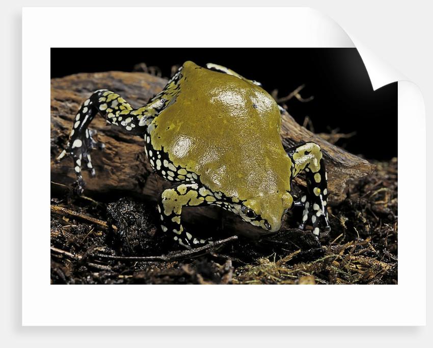 Dermatonotus muelleri (Muller's termite frog) by Corbis