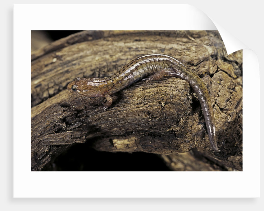 Desmognathus fuscus (northern dusky salamander) by Corbis