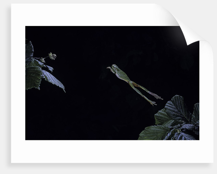 Hyla meridionalis (Mediterranean tree frog) - leaping by Corbis