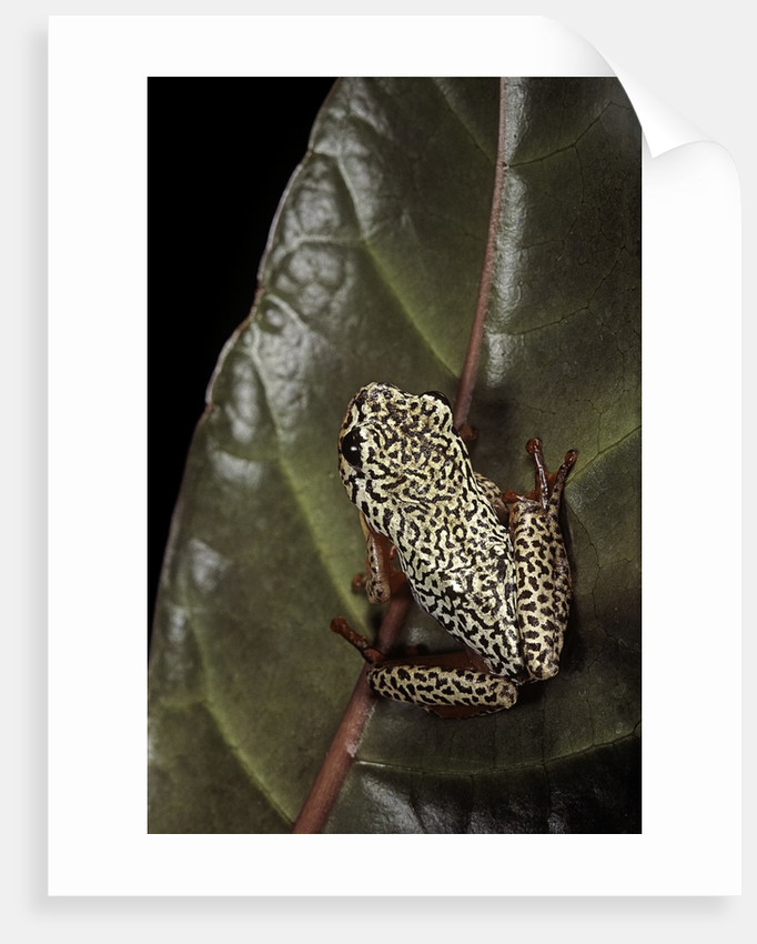Hyperolius marmoratus (marbled reed frog, painted reed frog); multicolored by Corbis