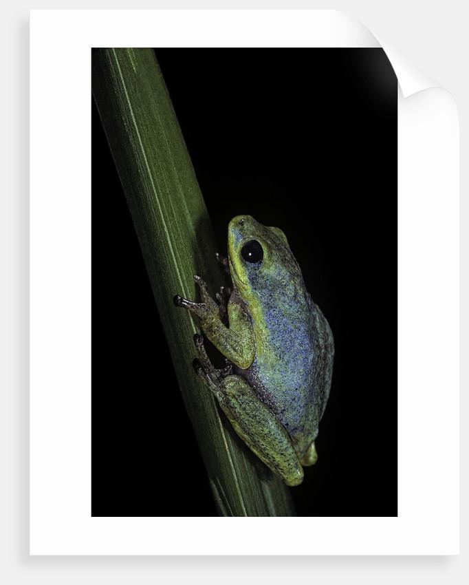 Hyperolius tuberilinguis (tinker reed frog) by Corbis