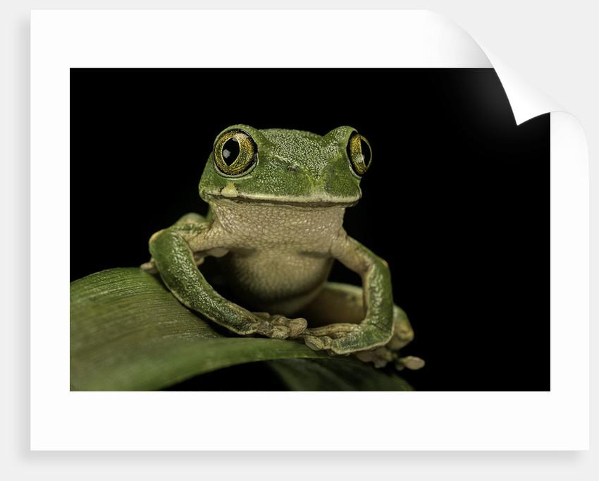 Leptopelis sp. (forest treefrog ) by Corbis