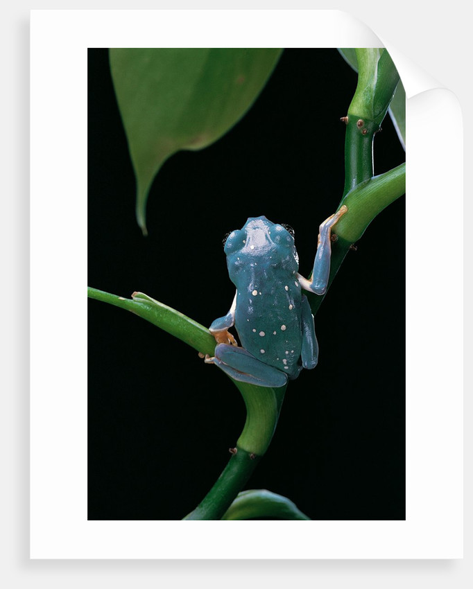 Pachymedusa dacnicolor (Mexican leaf frog) by Corbis