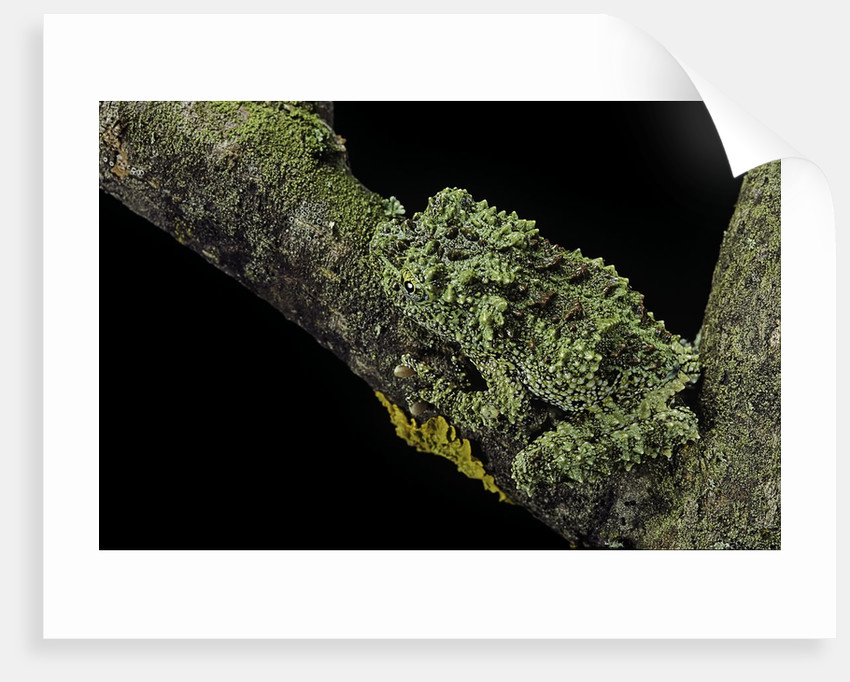 Theloderma corticale (Tonkin bug-eyed frog, mossy frog) by Corbis