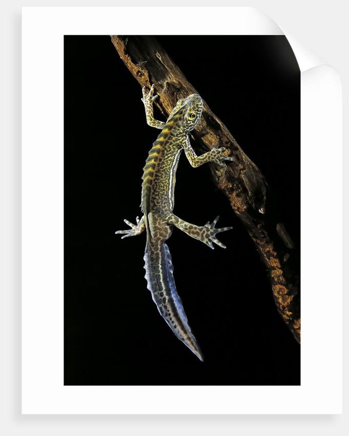 Ommatotriton vittatus (southern banded newt) by Corbis