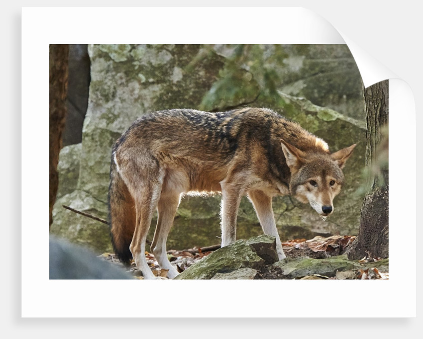 Red Wolf by Corbis